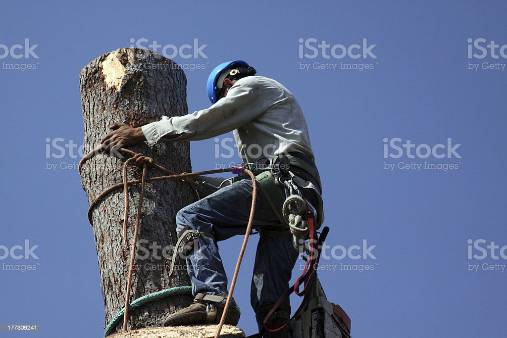 Climbing a tall tree removal job stock photo