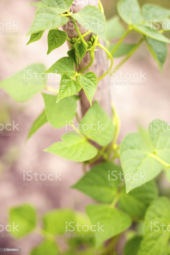 Climbing Beanstalk stock photo