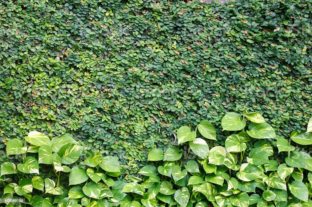 climbing fig on the wall with golden Pothos,devil's lvy stock photo