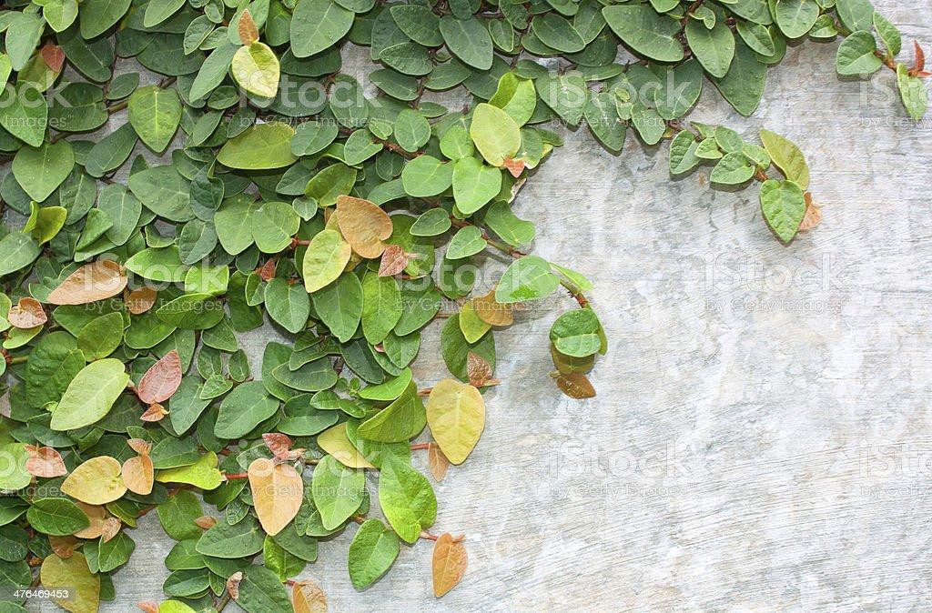 Climbing fig royalty-free stock photo