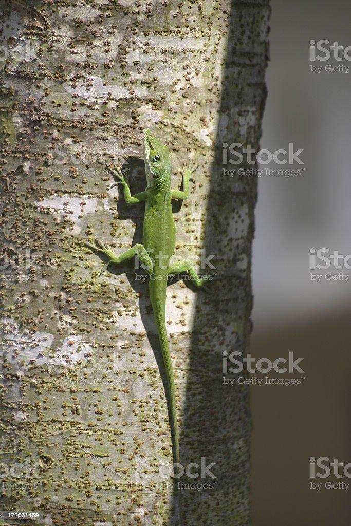 Climbing gecko royalty-free stock photo