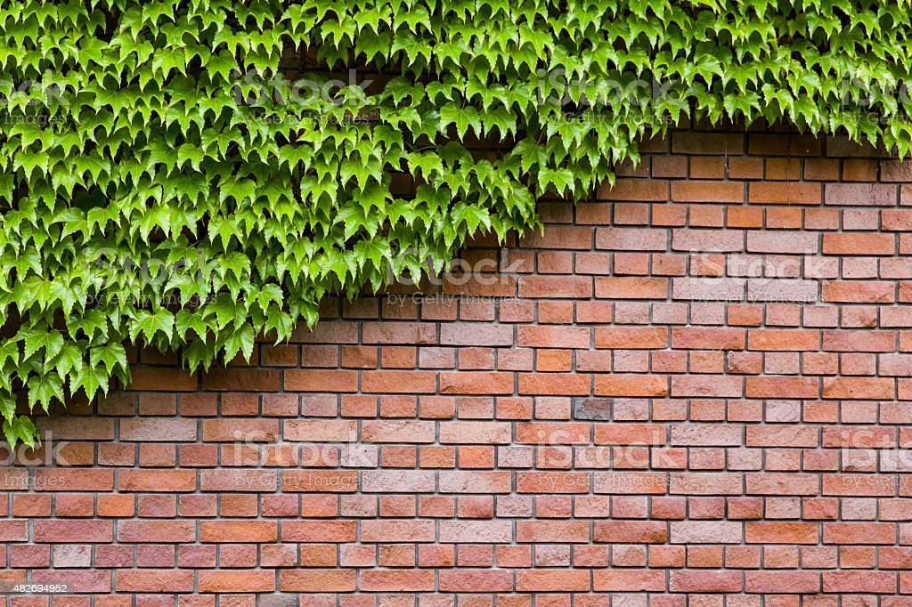 Climbing green ivy on an old brick wall outdoors stock photo