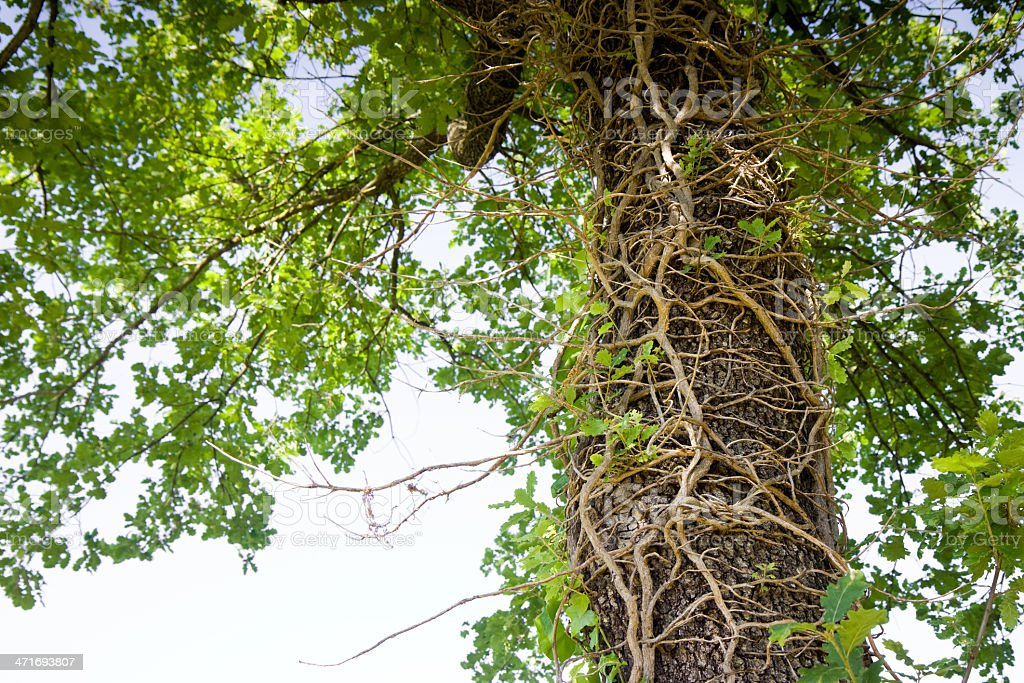 Climbing ivy  on a tree trunk royalty-free stock photo