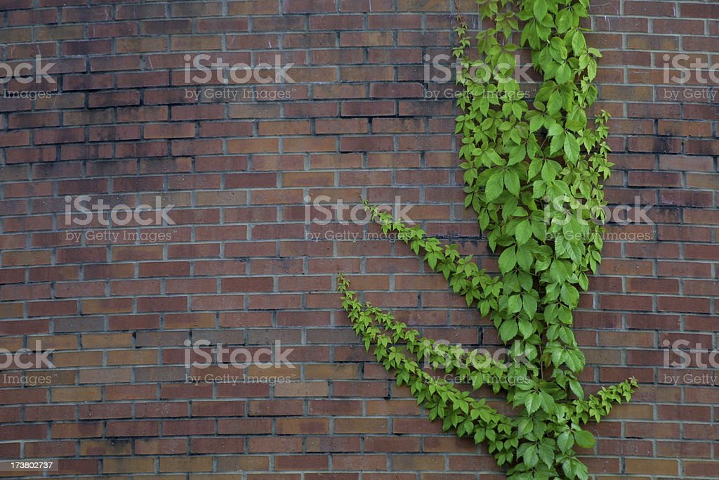 Climbing Ivy royalty-free stock photo