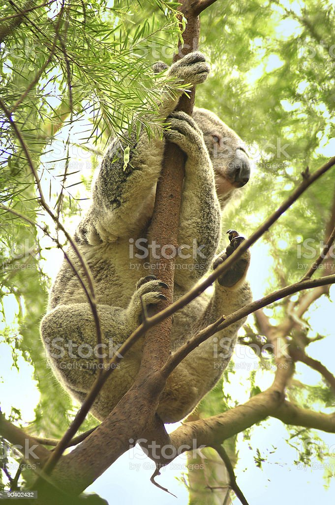 climbing koala royalty-free stock photo