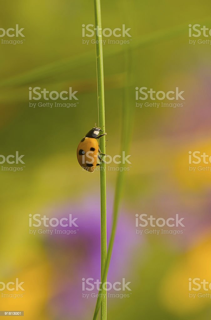 Climbing ladybug royalty-free stock photo