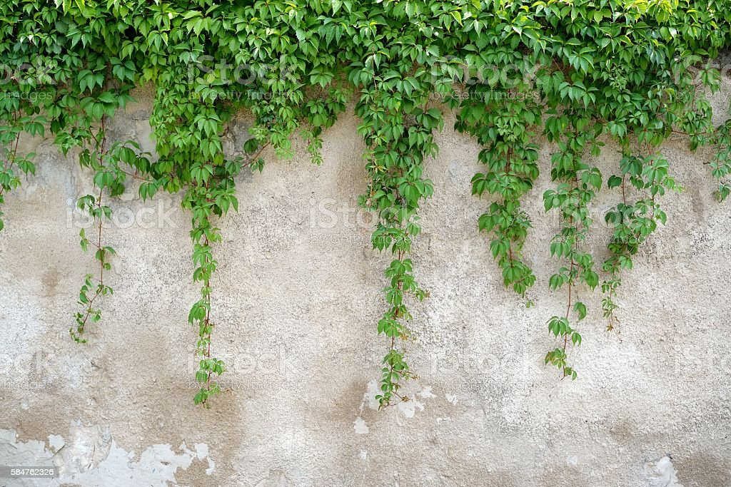 Climbing leaves on grey wall background stock photo
