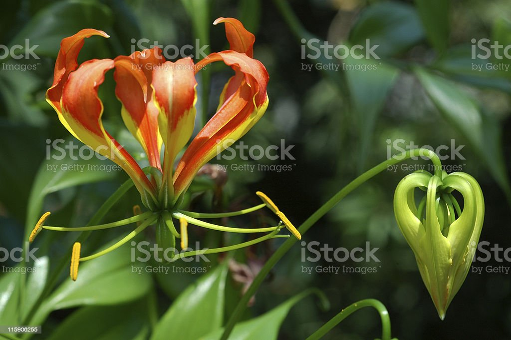 climbing or flame lily, Gloriosa superba, flowers royalty-free stock photo
