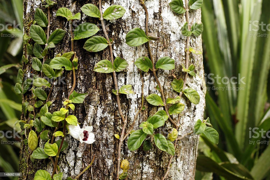 Climbing plant, family Gesneriaceae royalty-free stock photo