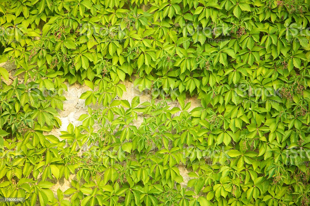 Climbing plant in rustic house stock photo