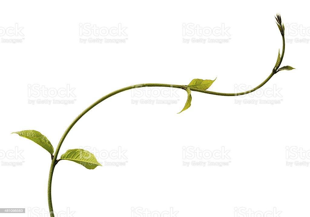 Climbing plant isolated on white. stock photo