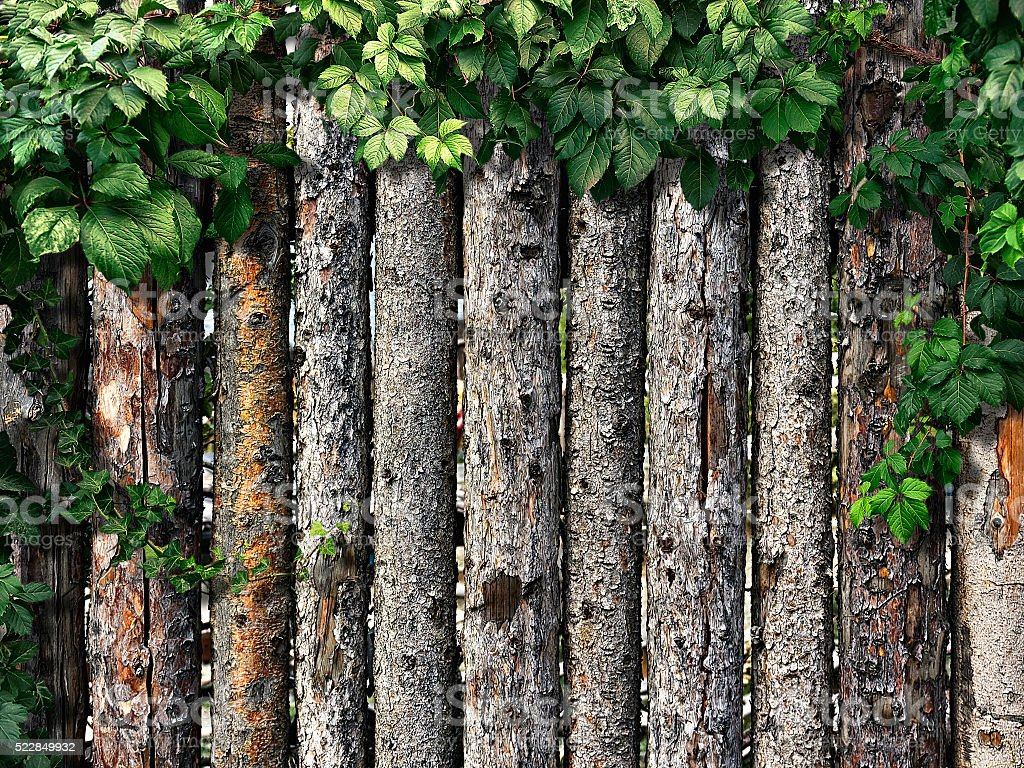 climbing plant on a wooden fence of logs stock photo