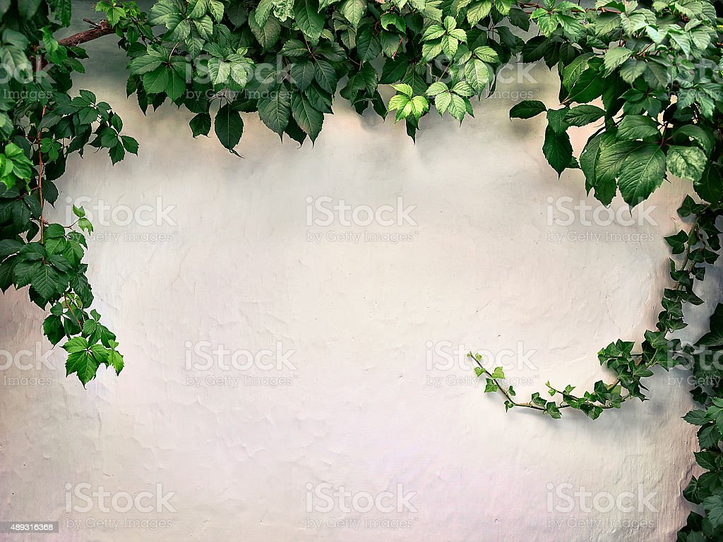 climbing plant on the white plaster walls stock photo