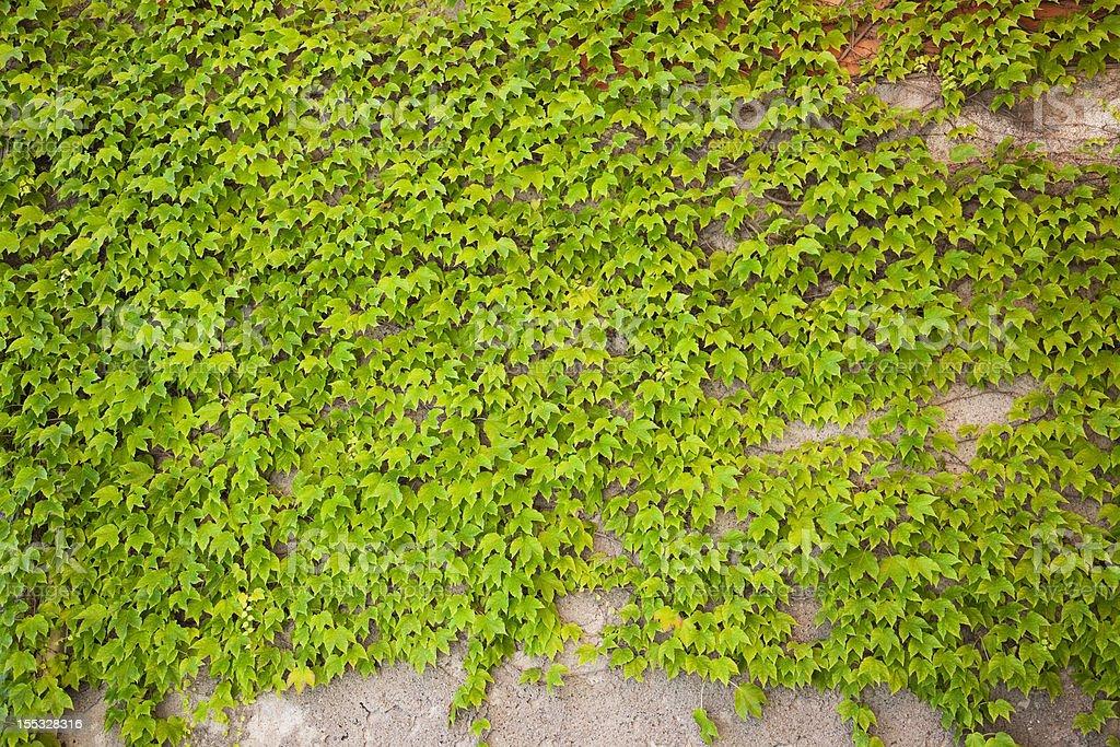 Climbing plant royalty-free stock photo