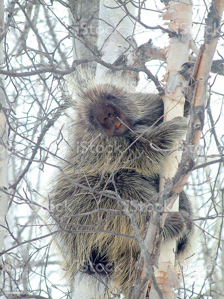 climbing porcupine stock photo