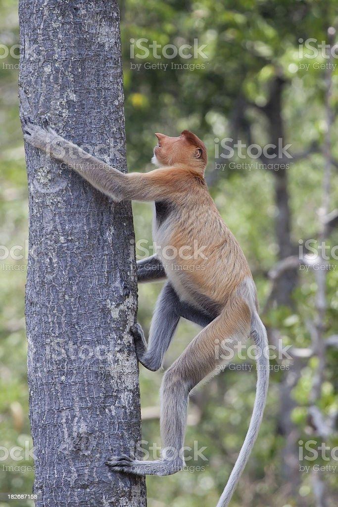 Climbing proboscis monkey royalty-free stock photo