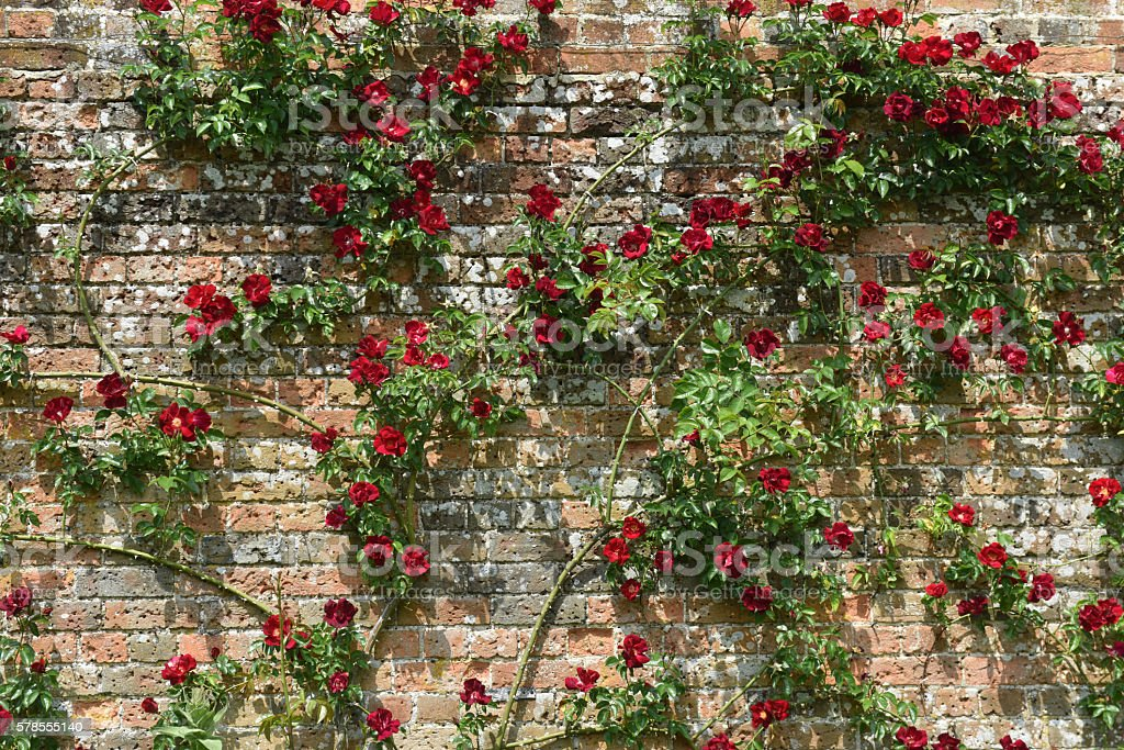 Climbing Red Rose stock photo