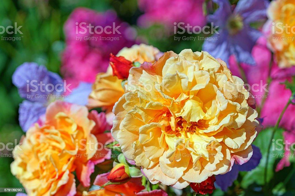 Climbing rose 'Aloha' and clematis stock photo