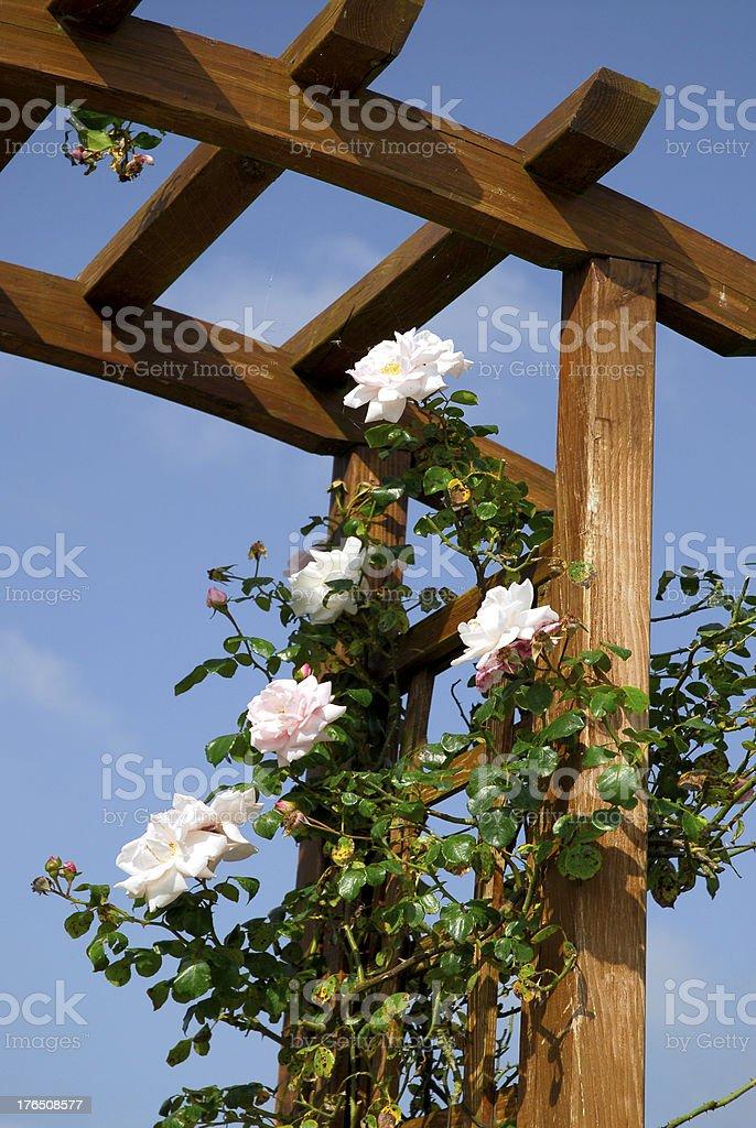 Climbing rose bush royalty-free stock photo