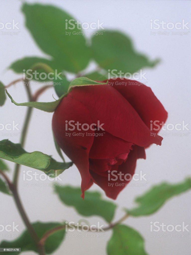 Climbing Rose stock photo