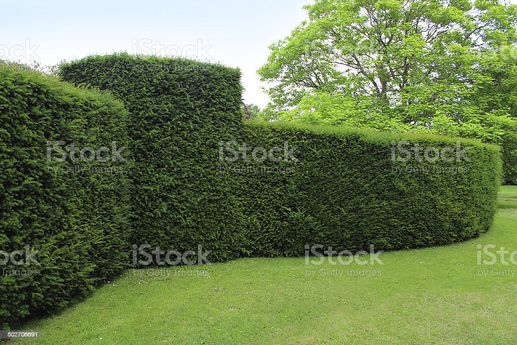 Clipped English yew hedge image / formal topiary garden (taxus baccata) stock photo