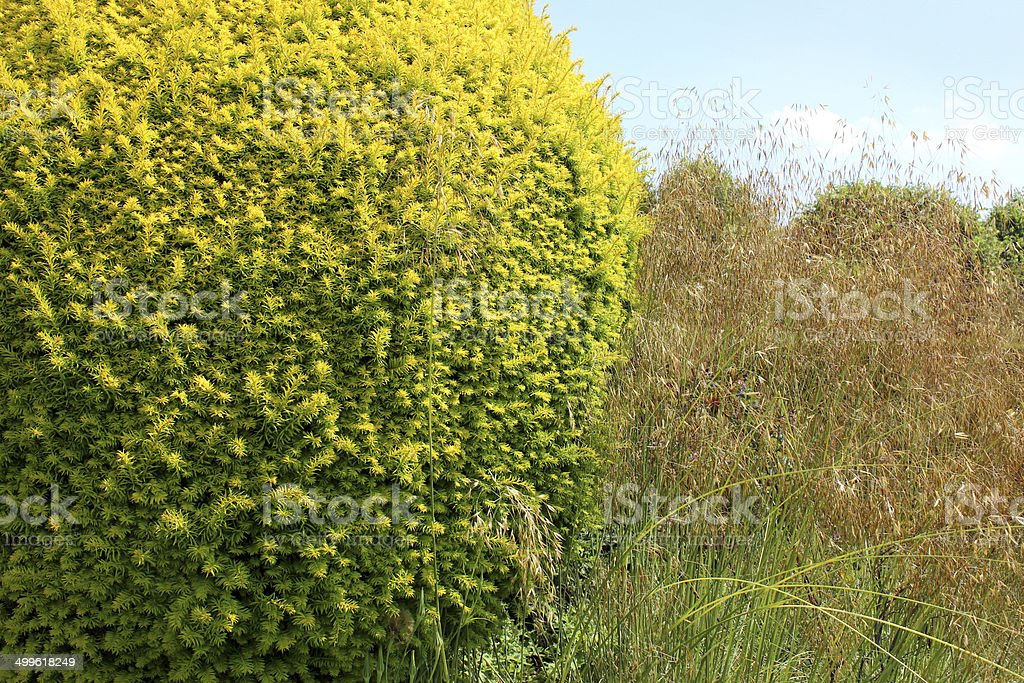 Clipped golden yew topiary / Taxus baccata 'Summergold', ornamental grasses, seed-heads stock photo