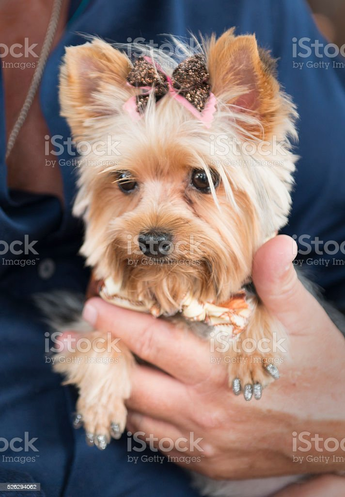 Clipped Yorkie close up stock photo