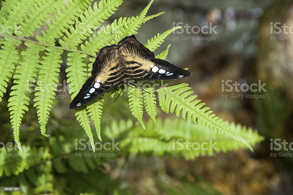 clipper butterfly royalty-free stock photo