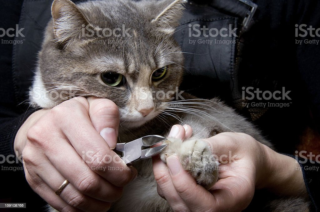 clipping claws of a cat -  necessary concern for pet stock photo
