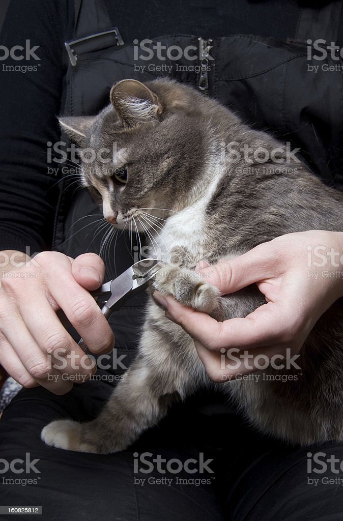 clipping claws of a cat -  necessary concern for pet royalty-free stock photo