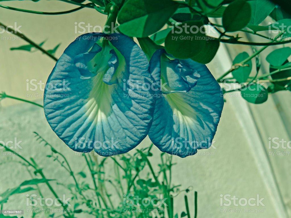Clitoria ternatea Linn, Fabaceae stock photo