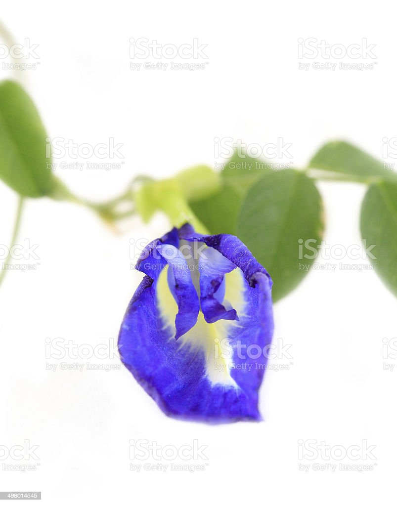 Clitoria ternatea on white background stock photo