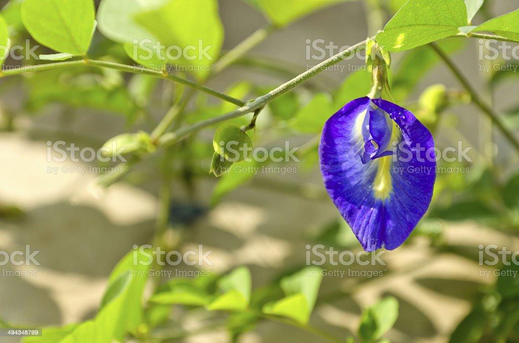 Clitoria ternatea stock photo