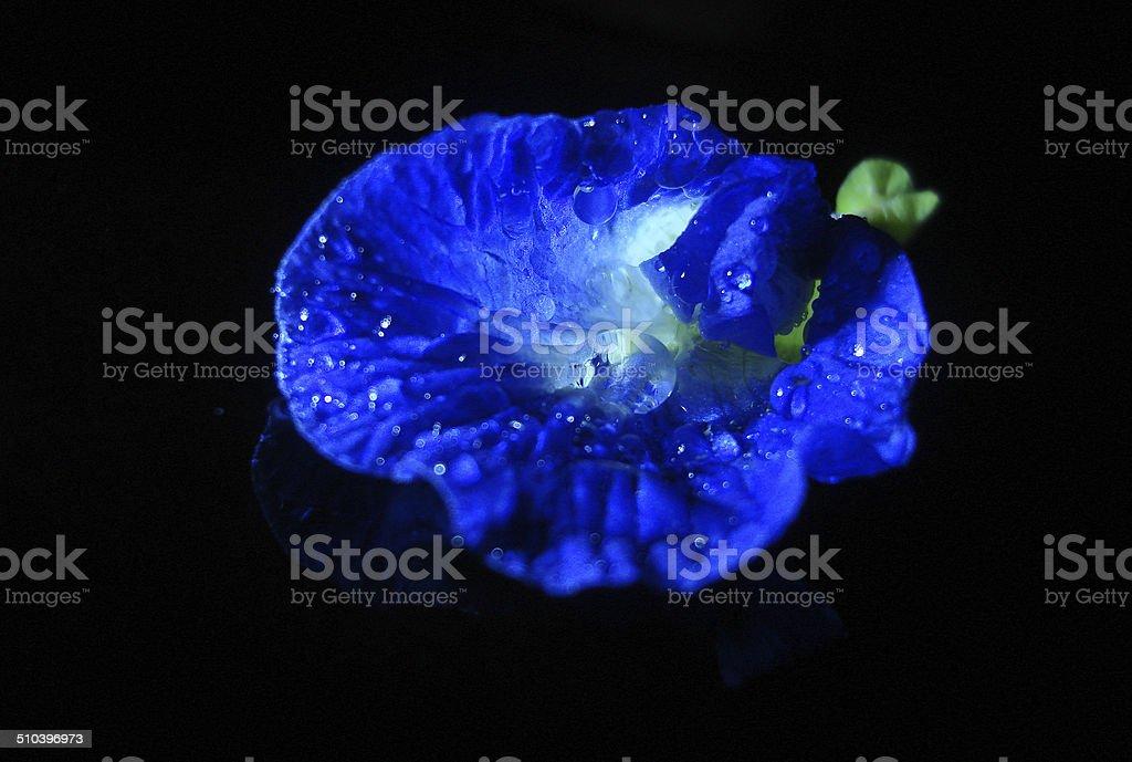 Clitoris fleur photo libre de droits