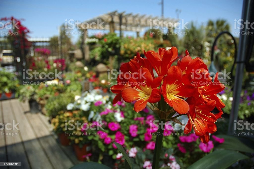 Clivia in Bloom at Garden Center Flower Shop royalty-free stock photo