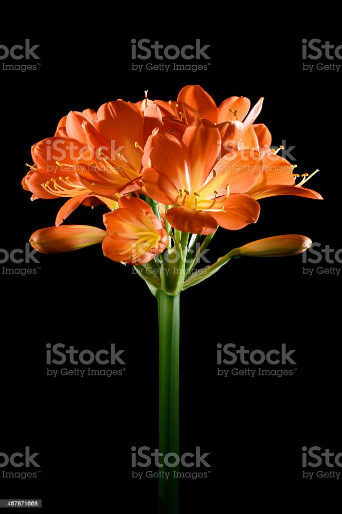 Clivia lily flower isolated stock photo