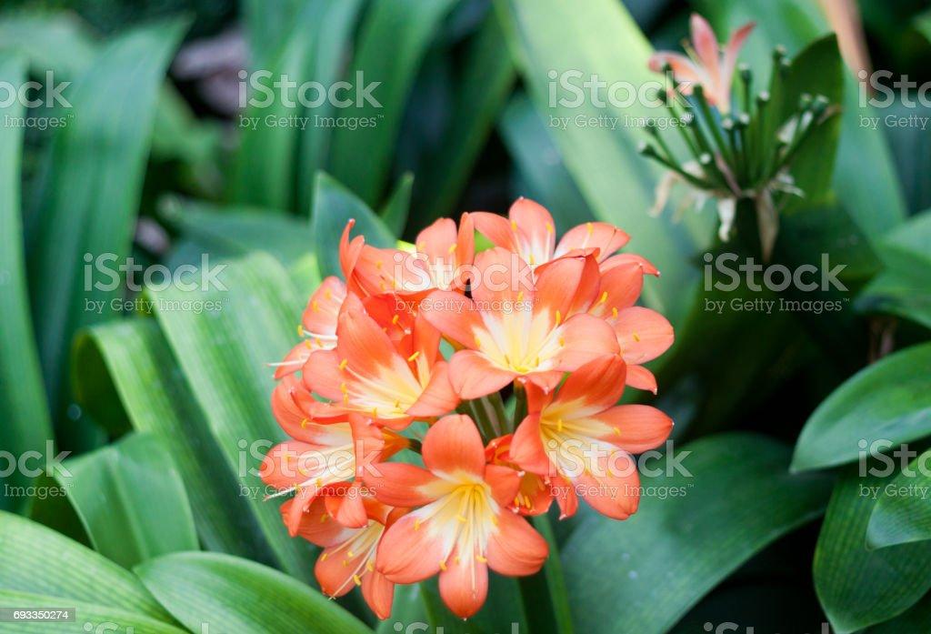 Clivia miniata Kaffir Lily stock photo