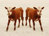 cloned calf