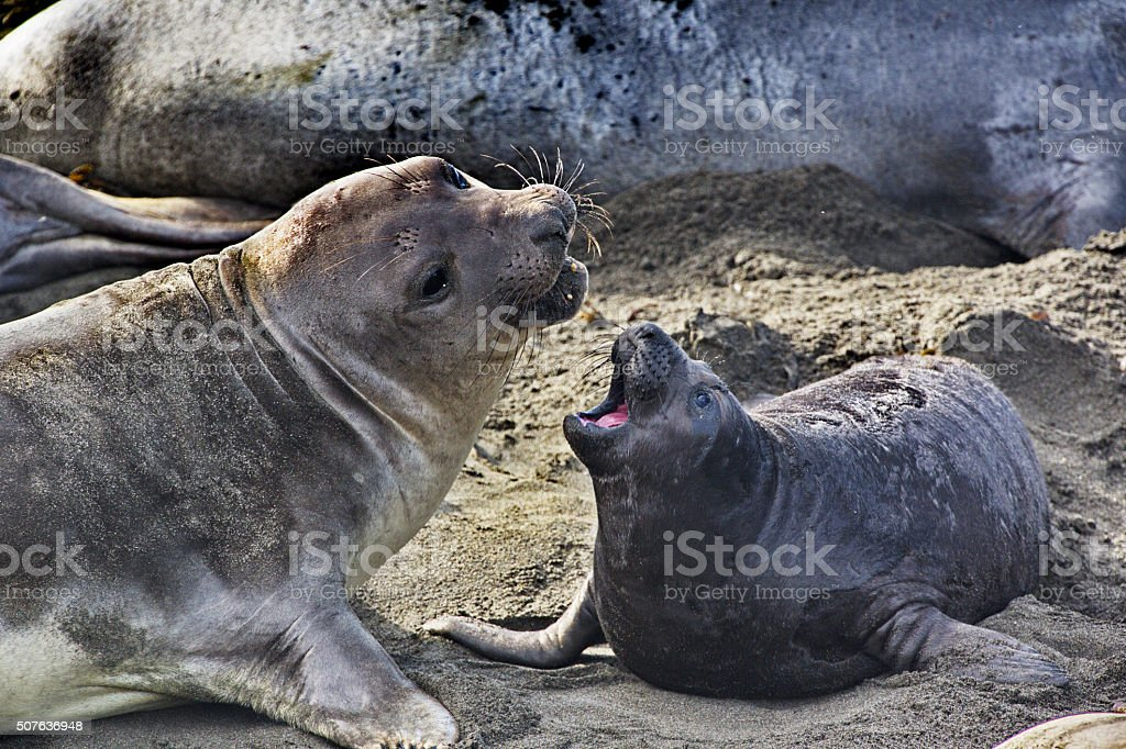Close bond of elephant seal mother and pup stock photo