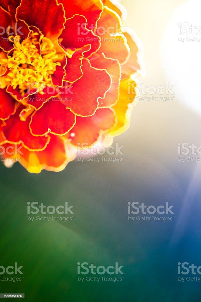 Close detail of red gerbera stock photo