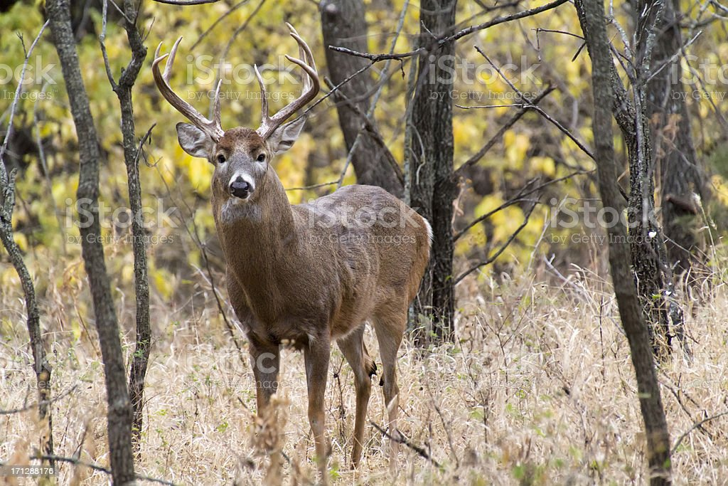 Close Encounter With Large Whitetail Buck Emphasizing His Presence royalty-free stock photo