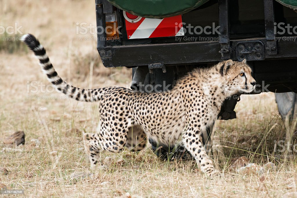 close encounter with wild cheetah stock photo