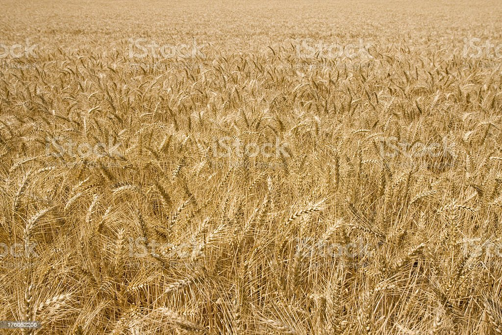 Close focus of ripe wheat in cultivated field. Cereal grain stock photo