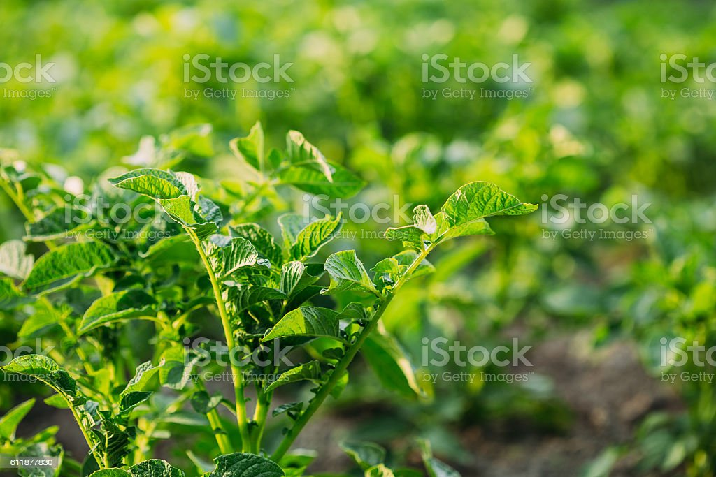 Close Green Vernal Sprouts Of Potato Plant, Solanum Tuberosum Gr stock photo
