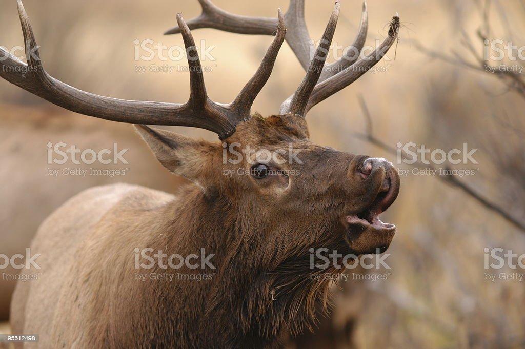 Close image of brown Bull Elk bugling stock photo
