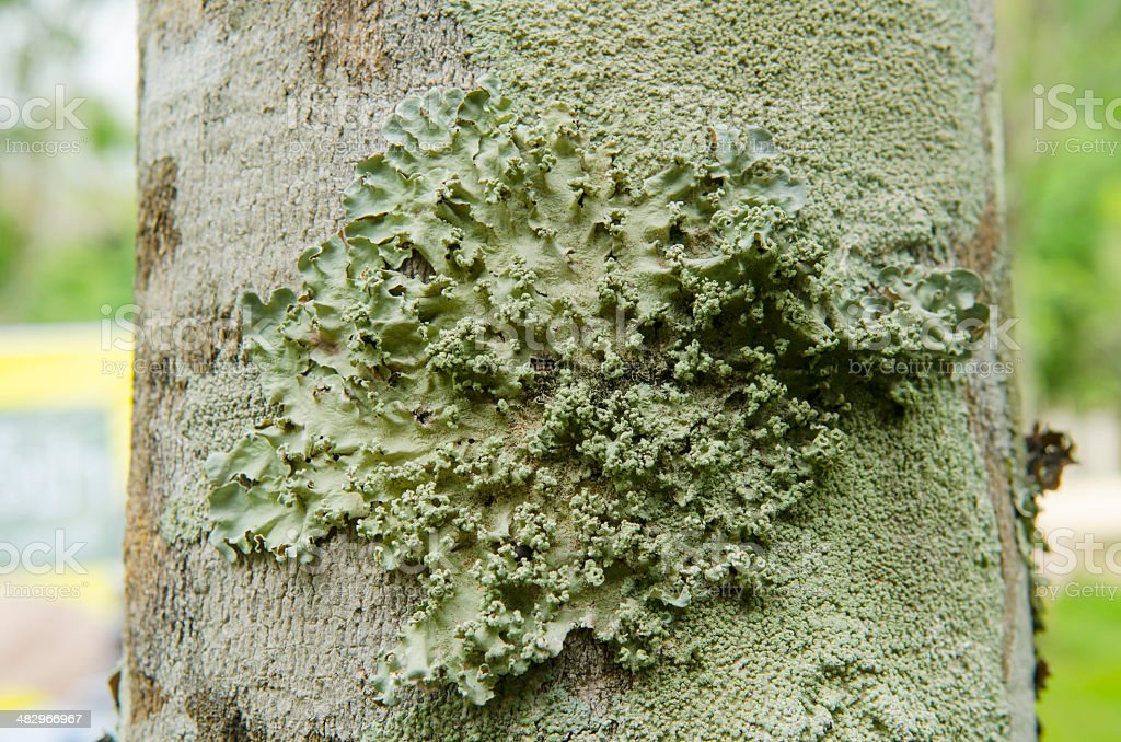 close look of lichens on tree bark royalty-free stock photo