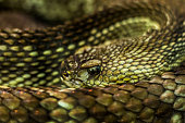 Close of a Neotropical Rattlesnake