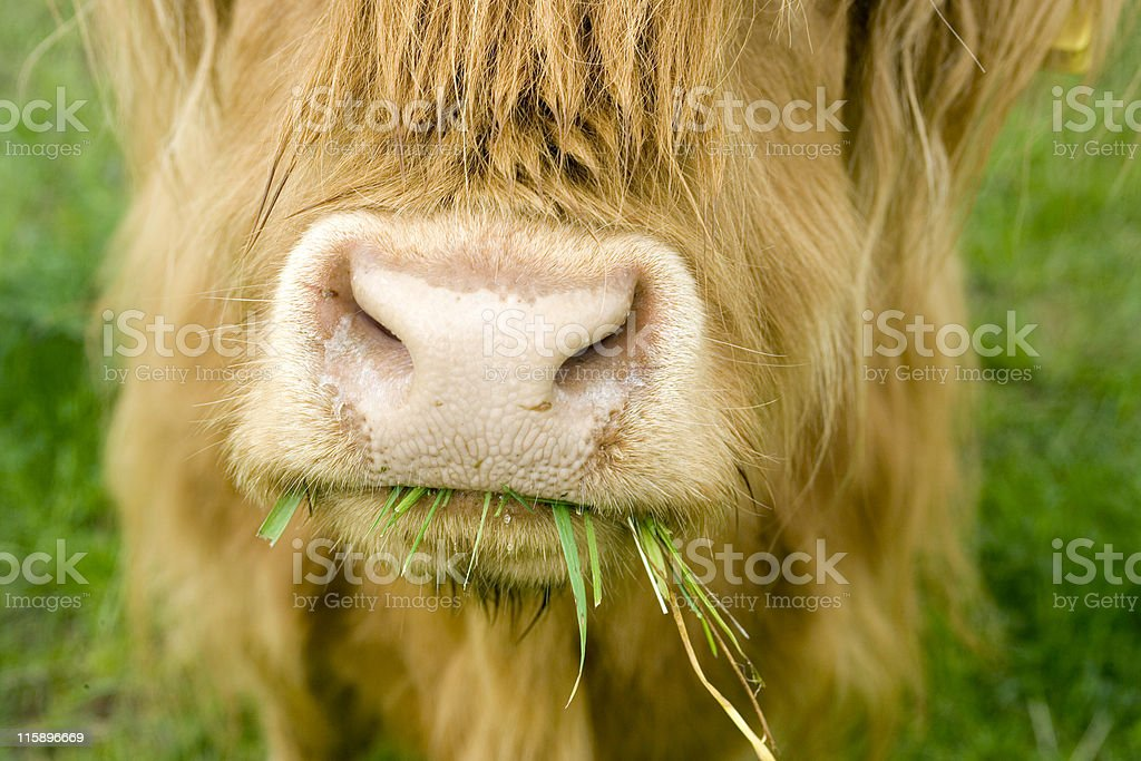 Close of Highland Cow Chewing on Grass royalty-free stock photo