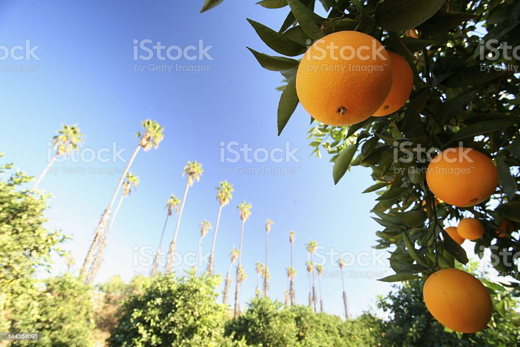 Close of up an orange tree and fruit on a bright day stock photo