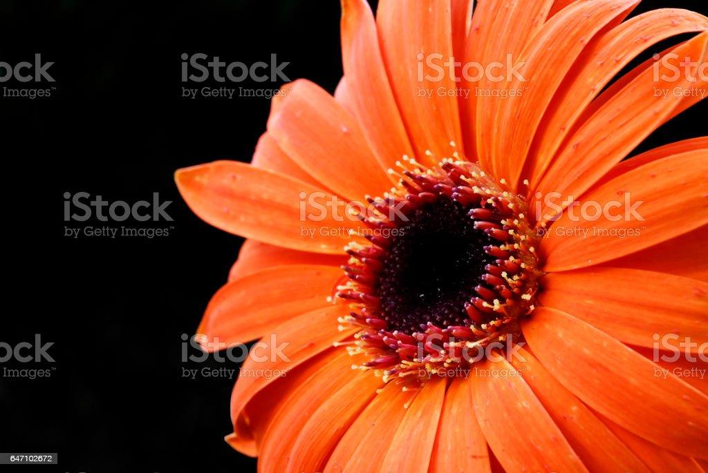 Close Orange Gerbera Daisy stock photo